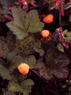 Cloudberry or Bakeapple