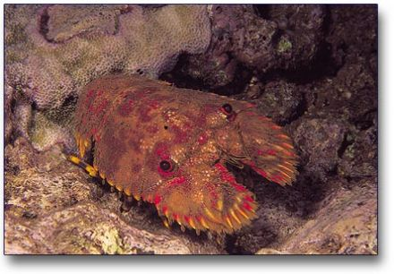 Slipper Lobster or Squillfish