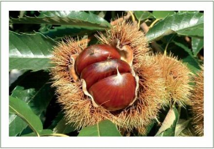Chestnuts Cooked with Fig Leaves and Anise